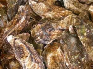 unopened oysters